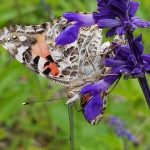 Butterfly | Save Tarrant Water