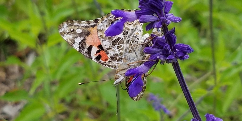 Butterfly   Save Tarrant Water