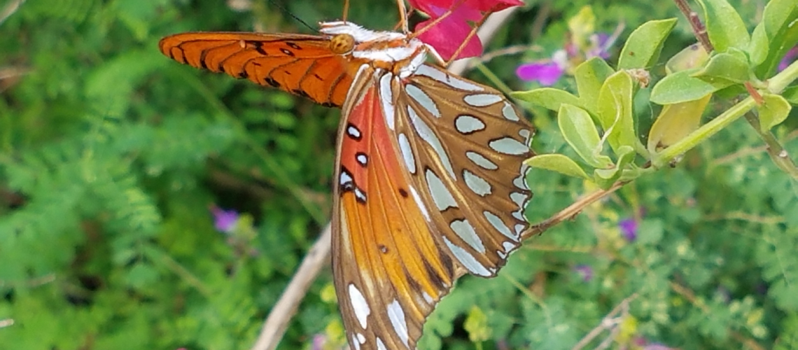 Gulf frit front of wings