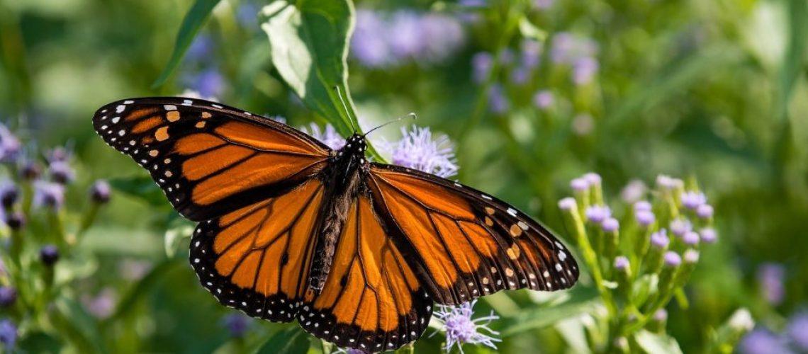monarch main